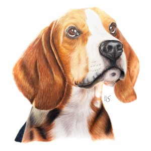Portrait de chien beagle aux crayons de couleur par Laurie Sénacq